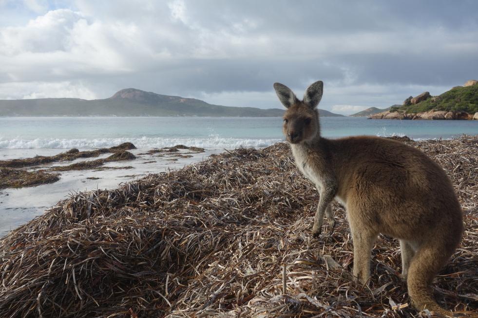 le kangourou est le symbole de l'Australie